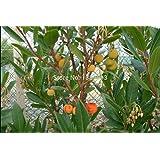 100 pc / pacchetto Arbutus unedo Corbezzolo Suriname Albero tropicale e Bonsai semina i semi della frutta cinesi per sano