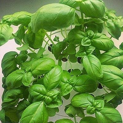 ekqw015l 50Pcs Mint Lemon Basil Seeds Garden Non-GMO Pollinated Annual Herb Flower Bonsai Garden Flower Plant Seeds Decor : Garden & Outdoor