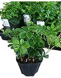 シッサス・シュガーバイン 5ポットセット 3号苗 観葉植物 苗 セット販売 インテリア グリーン まとめ売り