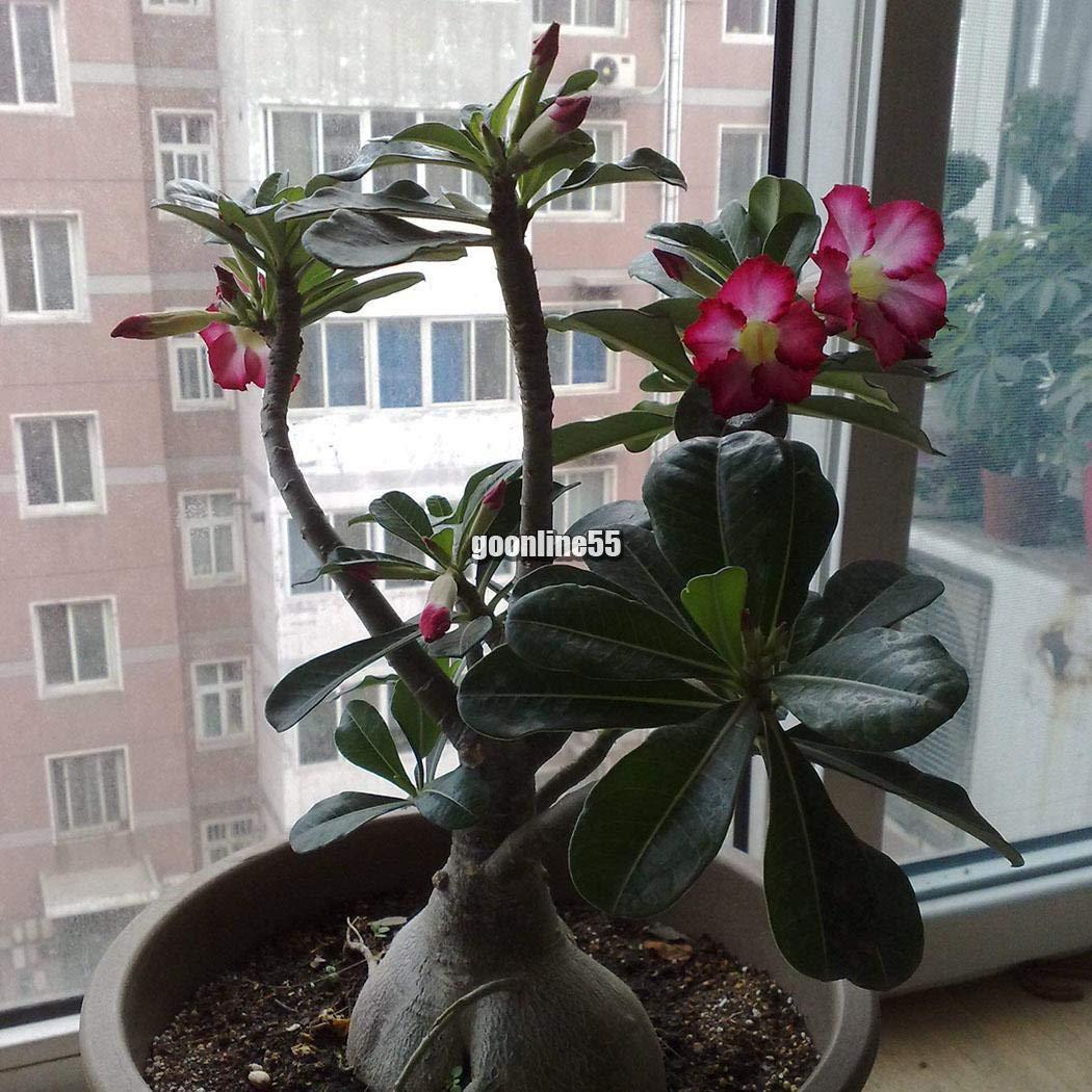 20//50pcs Succulent Plant Echeveria Seeds Home Garden Plant Seeds EA9