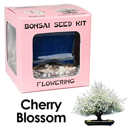 Amazon Com Eve S Cherry Blossom Bonsai Seed Kit Flowering Complete Kit To Grow Cherry Blossom Bonsai From Seed Live Indoor Bonsai Plants Grocery Gourmet Food