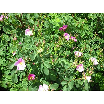 Rosa Woodsii Woods Native Rose Choose 3, 6 Or 10 Cold Hardy Native Shrubs Plant MX01 : Garden & Outdoor