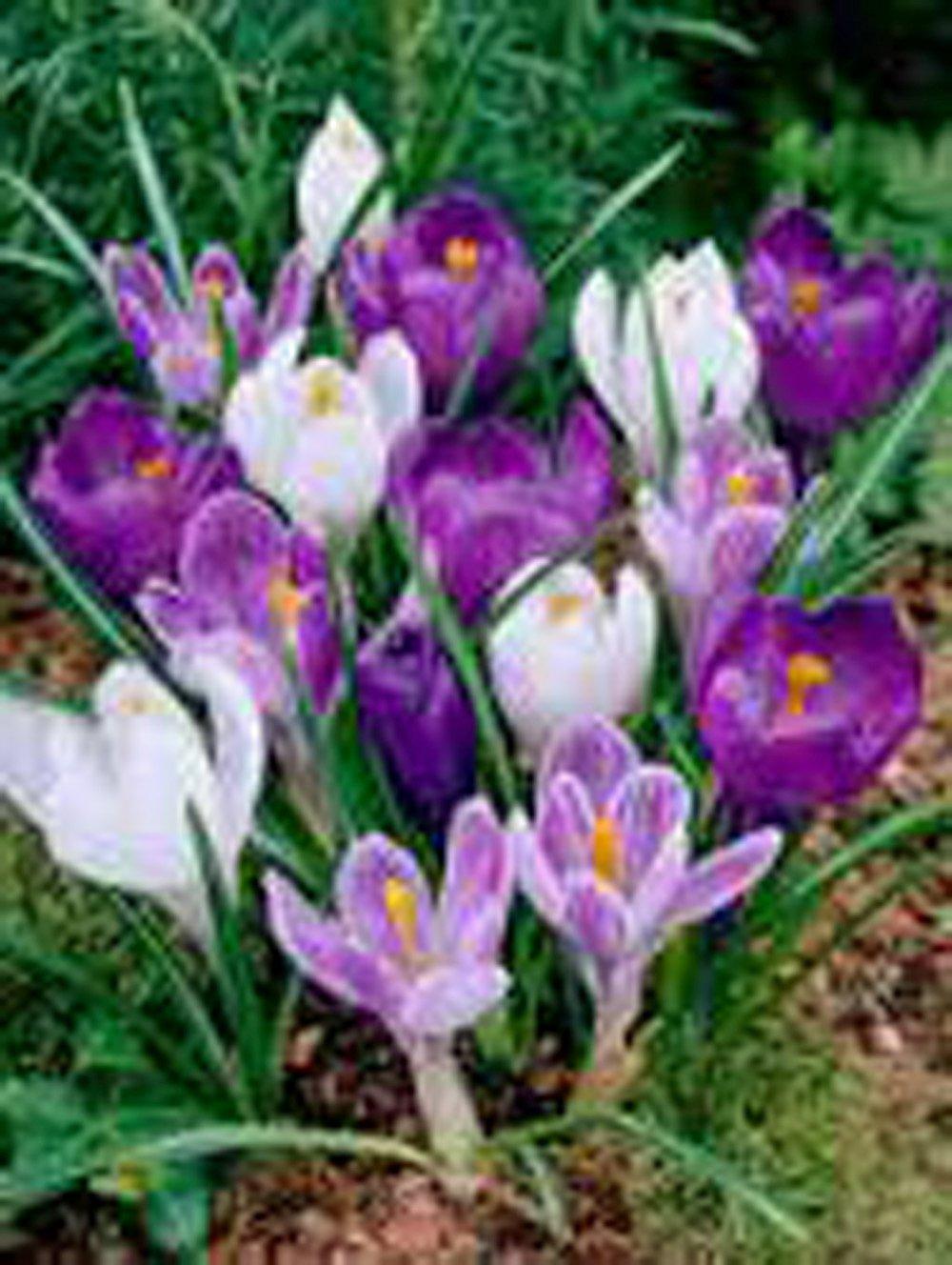 Bulbs 10 Pack Purple White Perennial Crocus Bulbs Mix Blue White Caps Crocus