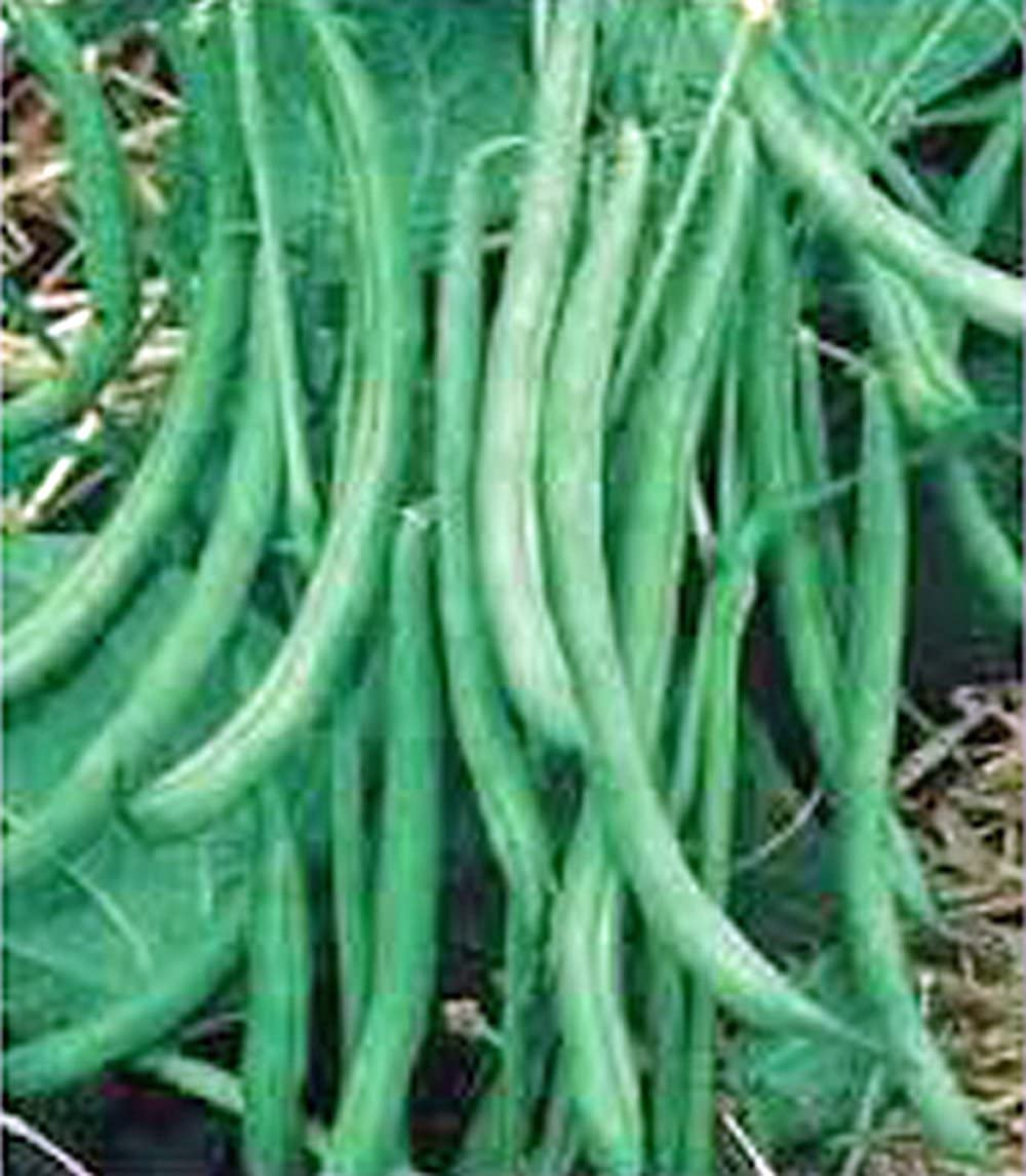 Bean, Burpee Stringless Green Bean, Heirloom, 20+ Seeds, Delicious Bean, Country Creek Acres