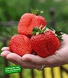 BALDUR-Garten Erdbeere 'Sweet Mary XXL®', 3 Pflanzen Fragaria