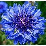 Earthcare Seeds Cornflower Tall Blue Heirloom Bachelors Button 1000 Seeds Centaurea Cyanus