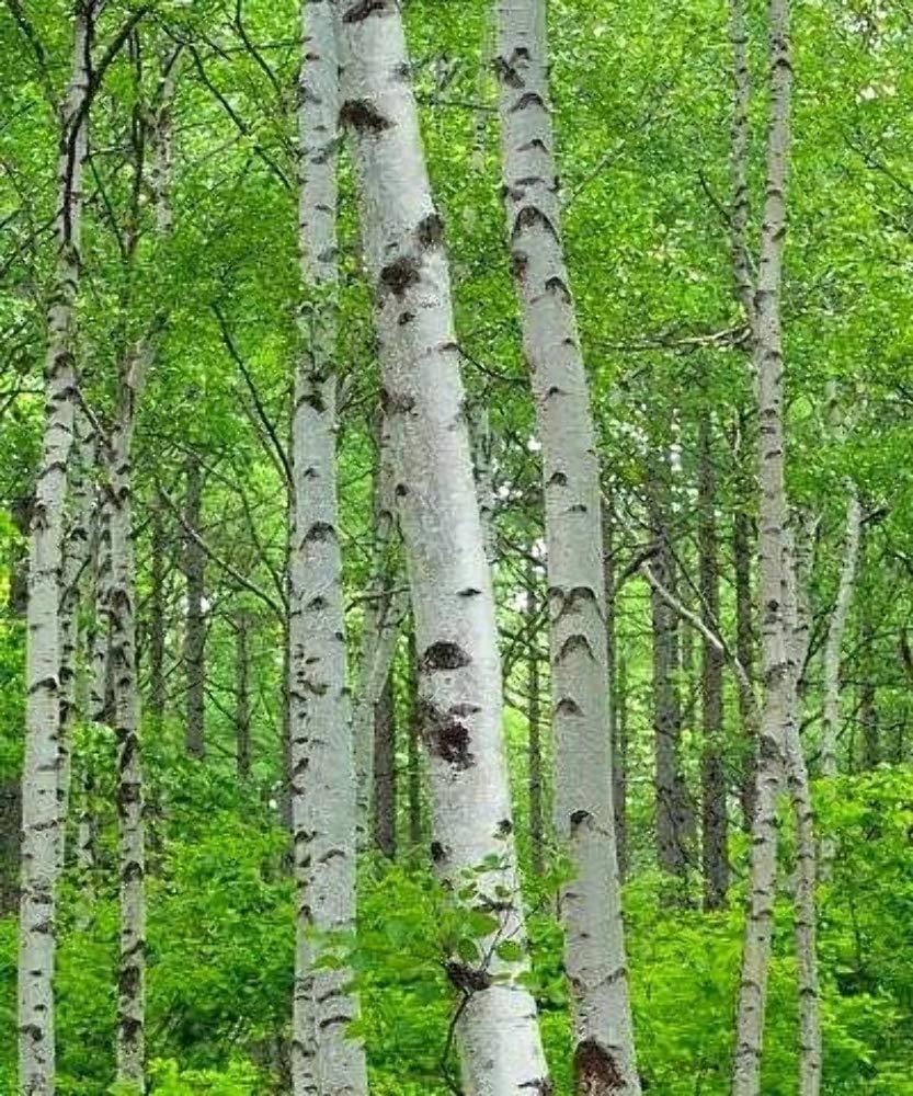 Silver Birch Trees Tree Saplings//Seedlings Betula pendula