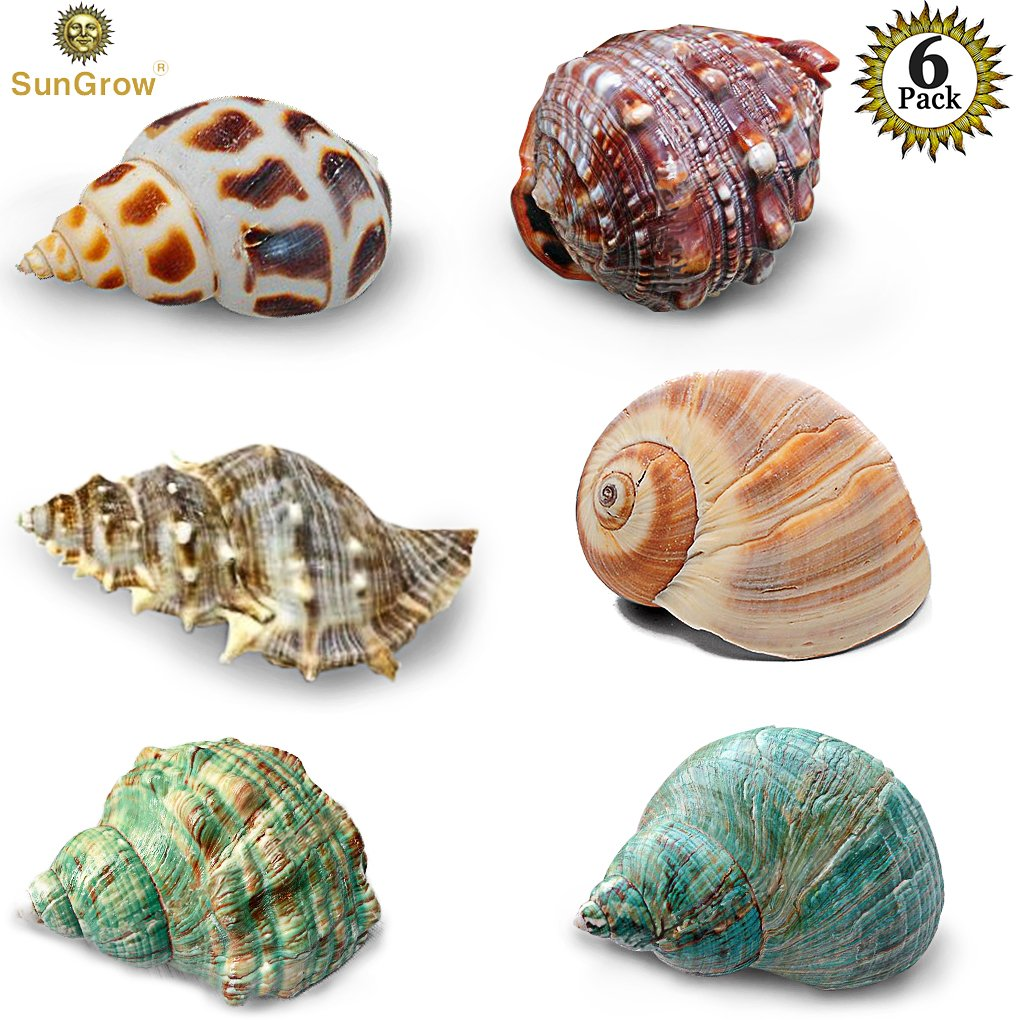 6 Assorted Turbo Hermit Crab Shells --- Growth Shells for Crabs - Essential for Hermies Who Need a New Home - Allows for Proper Growth - Multipurpose Conches for Home, Aquarium or Crab Tank Decor