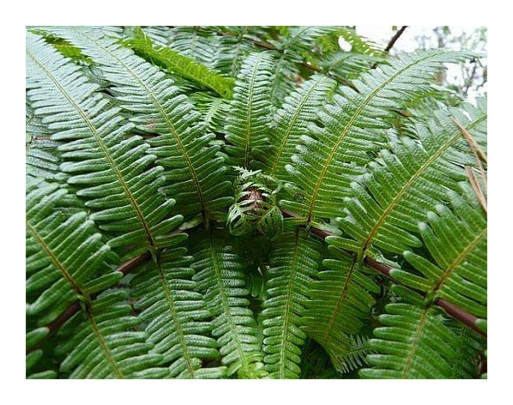 Gleichenia japonica - forked fern - 100 seeds Exotic Plants