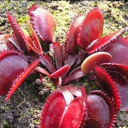 100pcs Dionaea Muscipula Giant Clip Venus Flytrap Seeds Exotic Flower Seeds Bonsai Flower Pots Planters-Purple