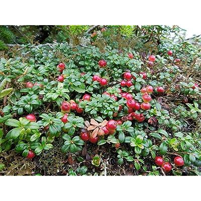 "AchmadAnam - Live Plant High in Anti-Oxidants Lingonberry 4"" Pot Fresh Aroma Garden Outdoor : Garden & Outdoor"