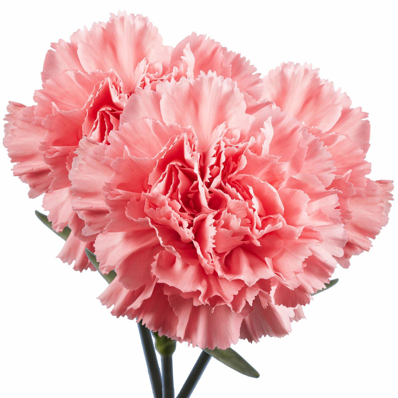 Amazon.com : GlobalRose 100 Fresh Cut Red Carnations - Fresh Flowers ...