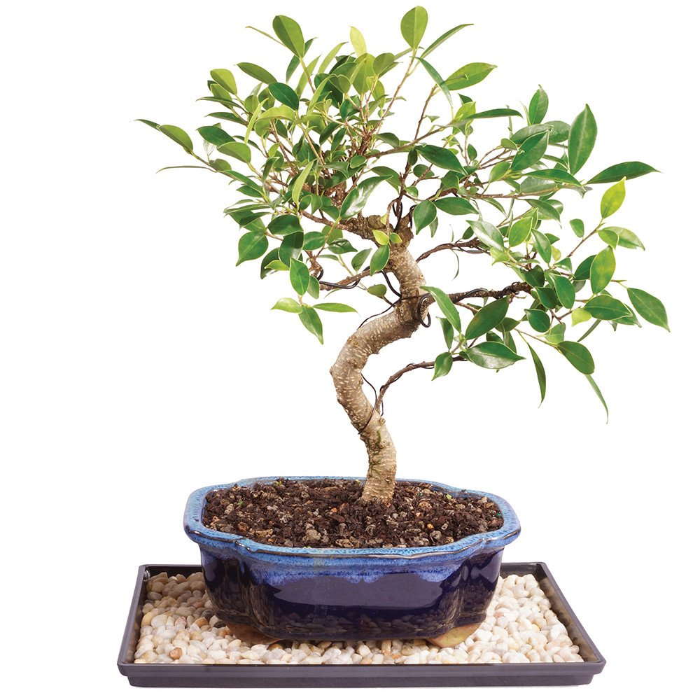 Brussel's Live Golden Gate Ficus Indoor Bonsai Tree - 8 Years Old; 10 to 14 Tall with Decorative Container, Humidity Tray & Deco Rock Brussel's Bonsai CT2006GGFT10