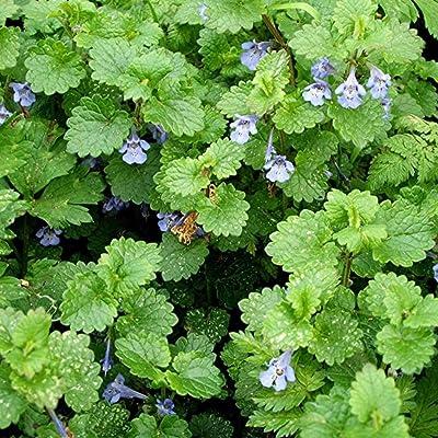 Ground Ivy Seeds (Glechoma hederacea) 10+ Medicinal Herb Seeds : Garden & Outdoor