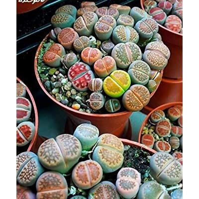 HOTUEEN Potted Flowers Crassulaceae Plant Radiation-Proof Living Stones Seed Cacti & Succulents : Garden & Outdoor
