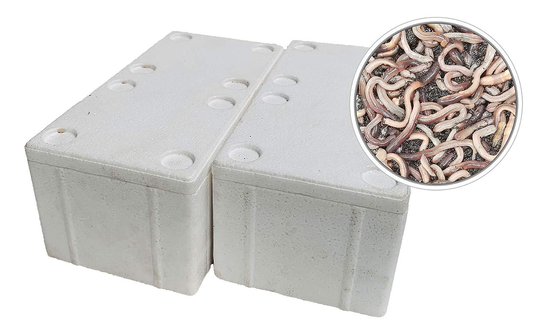 Kanadische Tauwürmer 25 Stück in Styropor-Box oder Gewebesack