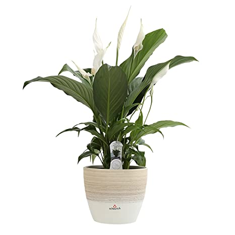 Amazon.com: Costa Farms Spathiphyllum Peace Lily Live Indoor Plant on kalanchoe plant benefits, janet craig plant benefits, ficus plant benefits, hibiscus plant benefits, croton plant benefits, aloe plant benefits, cactus plant benefits, marigold plant benefits, lavender plant benefits, bird of paradise plant benefits, snake plant benefits,
