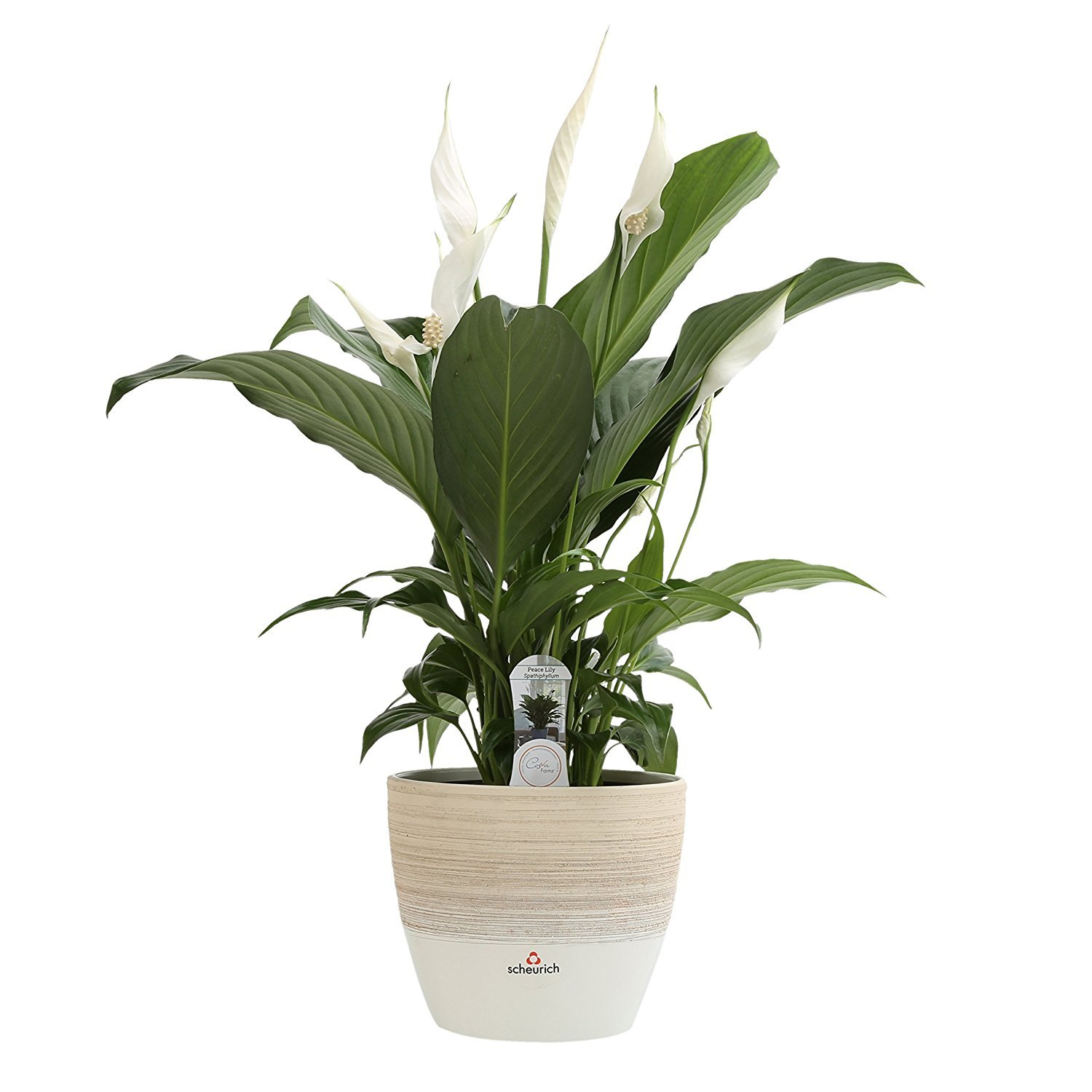 Costa Farms Live Indoor Flowering Peace Lily in Scheurich Premium Décor-Ready Ceramic Planter, Great Gift by Costa Farms