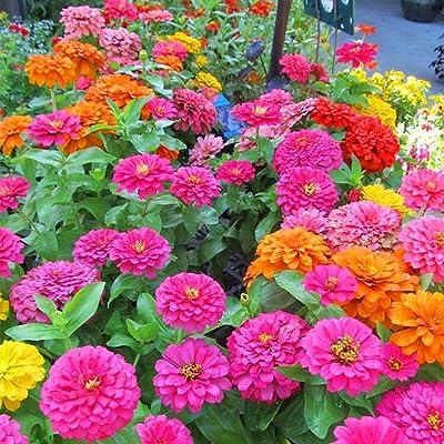 airrais 50Pcs Nice Adorable Flower Fragrant Seeds Fragrant Blooms Zinnia Seeds Flowers : Garden & Outdoor