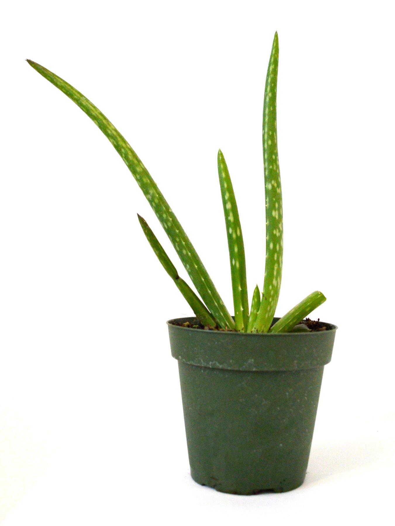 9GreenBox - Small Aloe Vera