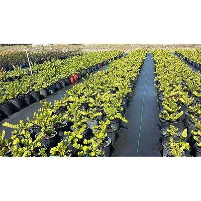 Chrysobalanus icaco 'Horizontal', Cocoplum - 7 Gallon Live Plant : Garden & Outdoor