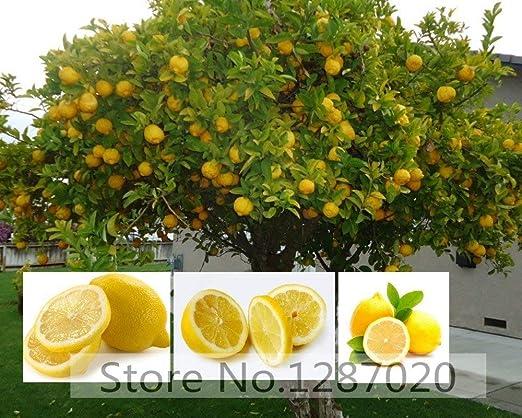 20 semillas del árbol de limón raras deliciosas semillas de ...