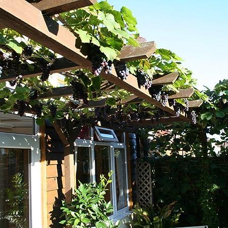 Thompson & Morgan Vitis Vinifera Dornfelder - Vine de frutas para jardín con uvas deliciosas y grandes, variedad autoalimentable para climas del Reino Unido, 1 x 4, 5 litros Vitis Vinifera Dornfelder: Amazon.es: Jardín