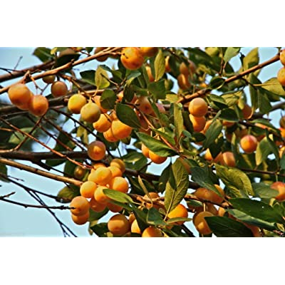 Nancy Tree Seeds (Byrsonima crassifolia) Golden Spoon, Nance, Maricao cimun : Garden & Outdoor