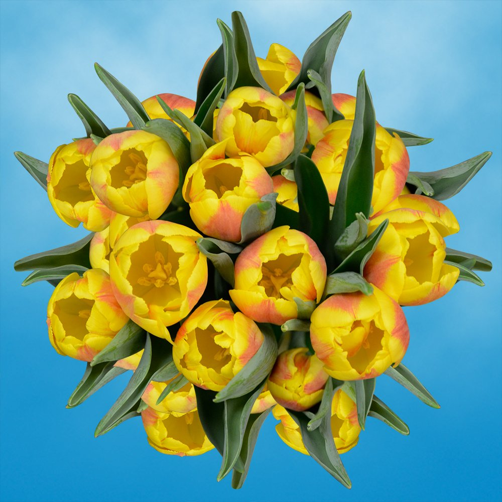 GlobalRose 30 Stems of Yellow Tulips Flowers - Fresh Flowers for Delivery by GlobalRose