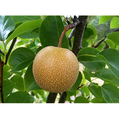 Asian Pear, (Chinese Sand Pear), Pyrus pyrifolia, Tree Seeds (10 Seeds) : Garden & Outdoor