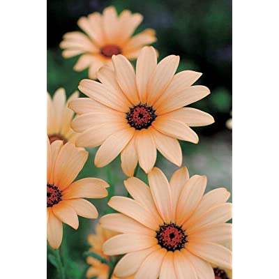 New!! - 25 Light Orang Daisy Seeds Osteospermum Flower African Flower Exotic Garden Seed : Garden & Outdoor