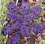 Scarlet Kale Seeds Heirloom (100 Seeds)