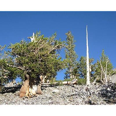 Pinus longaeva Great Basin Bristlecone Pine Tree Seeds! : Garden & Outdoor