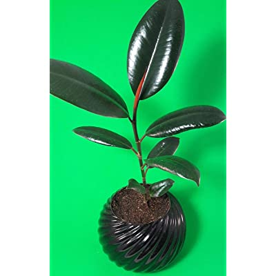 "AchmadAnam - Live Plant Burgundy Rubber Tree Plant Ficus 4.5"" Pot Ceramic Indoor Office Best Gift Home : Garden & Outdoor"