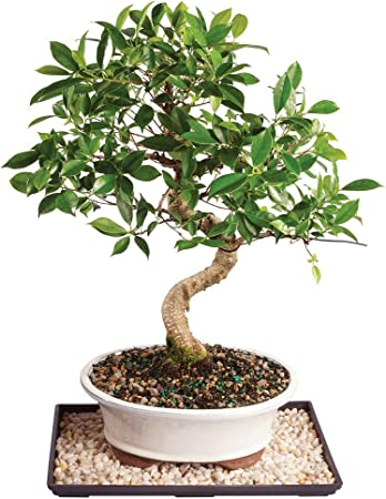 Amazon Com Brussel S Live Golden Gate Ficus Indoor Bonsai Tree 17 Years Old 16 To 20 Tall With Decorative Container Humidity Tray Deco Rock Garden Outdoor