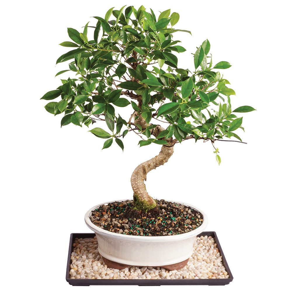 Brussel's Golden Gate Ficus Bonsai - Large (Indoor) with Humidity Tray & Deco Rock
