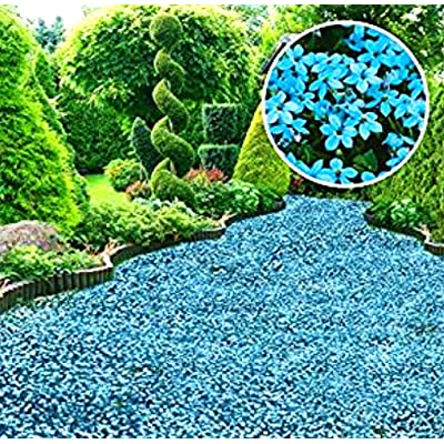 Murieo Seeds - 100 Pieces Rock Cress Seeds Scented Creepers Ground Cover Flower Seeds Hardy Perennial Garden Plants Seeds : Garden & Outdoor