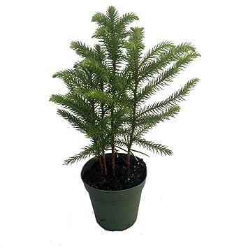 Amazon Com Norfolk Island Pine The Indoor Christmas Tree 4  - Christmas Tree Seedlings
