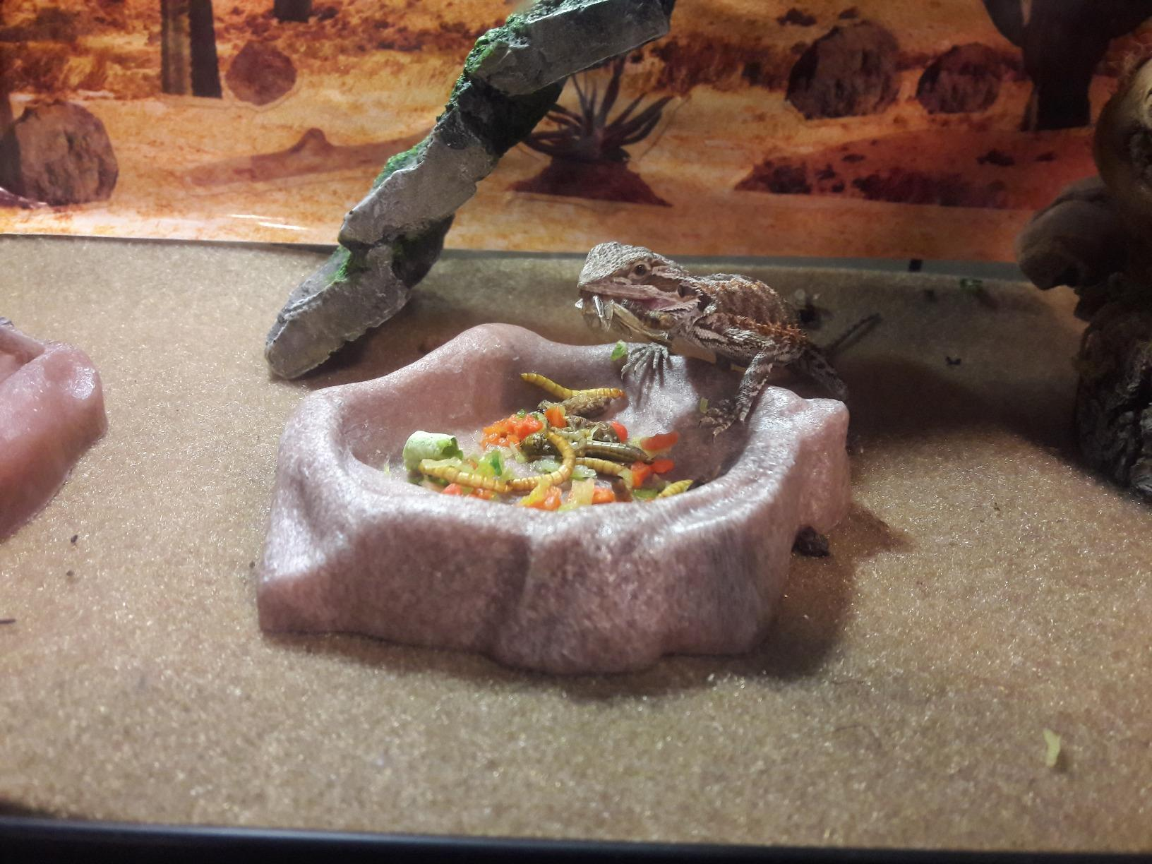 Can Bearded Dragons Eat Dried Food?