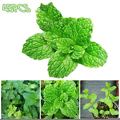 Opla3ofx Seeds for Painting, 45Pcs Peppermint Mint Seeds Garden Herb Plants Home Courtyard Balcony Bonsai, Idea Outdoor and Indoor Ornament : Garden & Outdoor