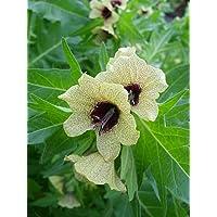 Asklepios-seeds® - 5000 Semillas de Hyoscyamus niger Beleño negro, hierba loca