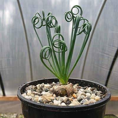 Live Plant - Albuca Spiralis Cactus Cacti Succulent Real Live Succulent Plant for Decoration #RR08 : Garden & Outdoor