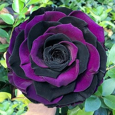 Feriay Seeds-200pcs Rainbow Rose seeds mixed colors Rose seeds Bonsai flower black Rose Seeds Flowers: Clothing