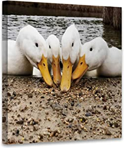 Hitecera Low Angle View of The Beaks Four American Pekin Aylesbury Ducks Searching for Food UK,Art Print Decals Aylesbury Art Print for Living Room 12x12in
