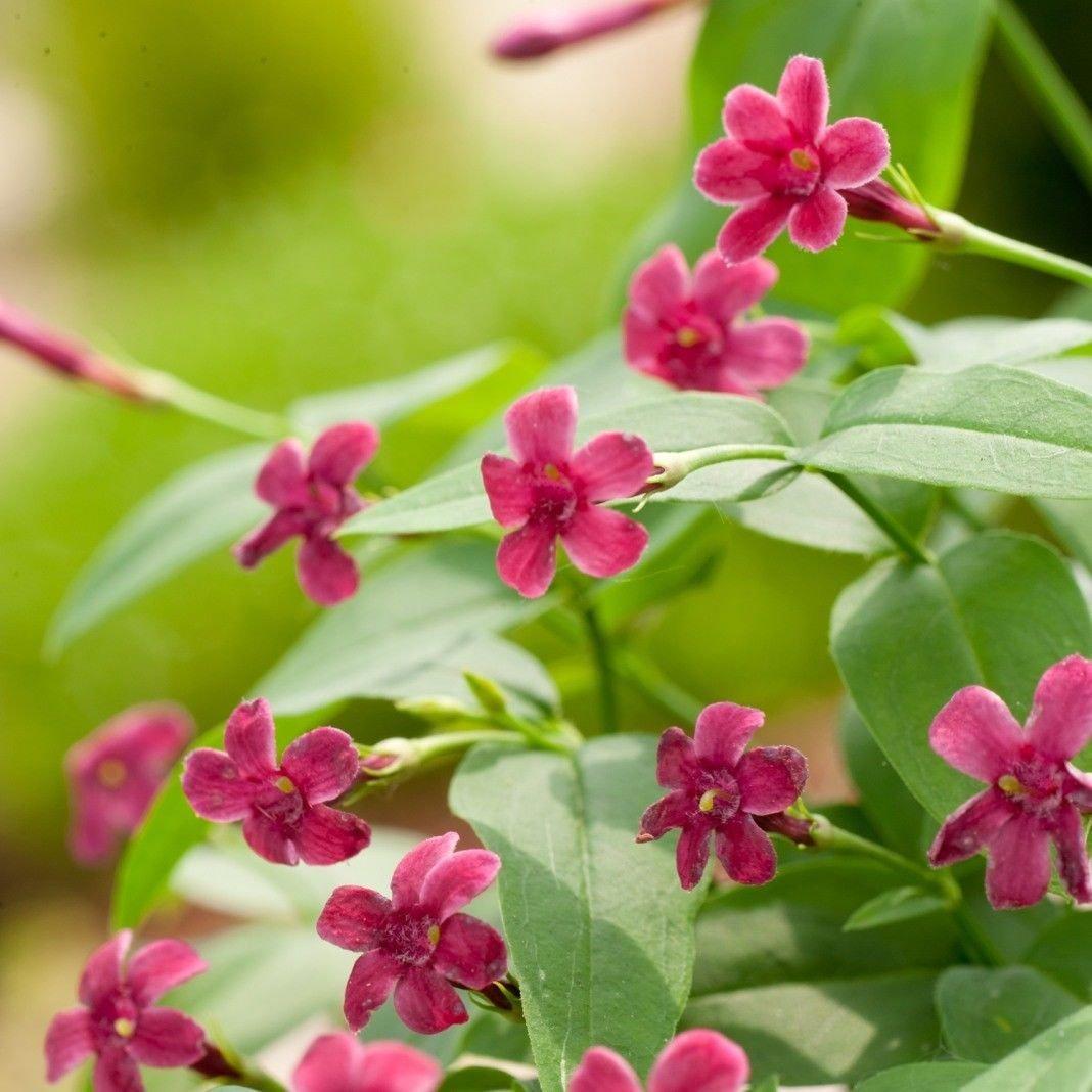 Jasmine Beesianum (Jasminum ) plug plant by Leegillard (1)