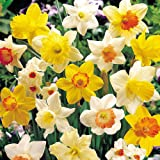 Sunshine Narcissus Mix 50 Bulbs-Deer & Rodent Resistant - 14/16 cm Bulbs