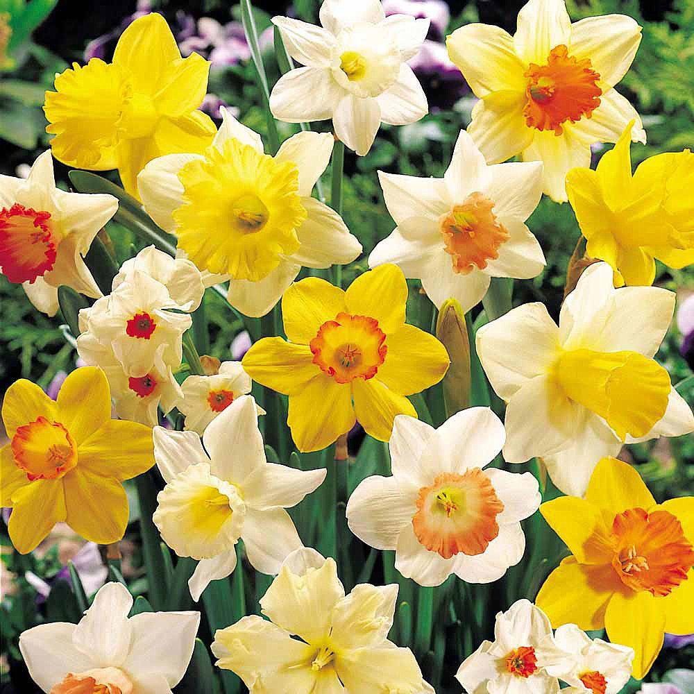Sunshine Narcissus Mix 50 Bulbs-Deer & Rodent Resistant - 14/16 cm Bulbs by