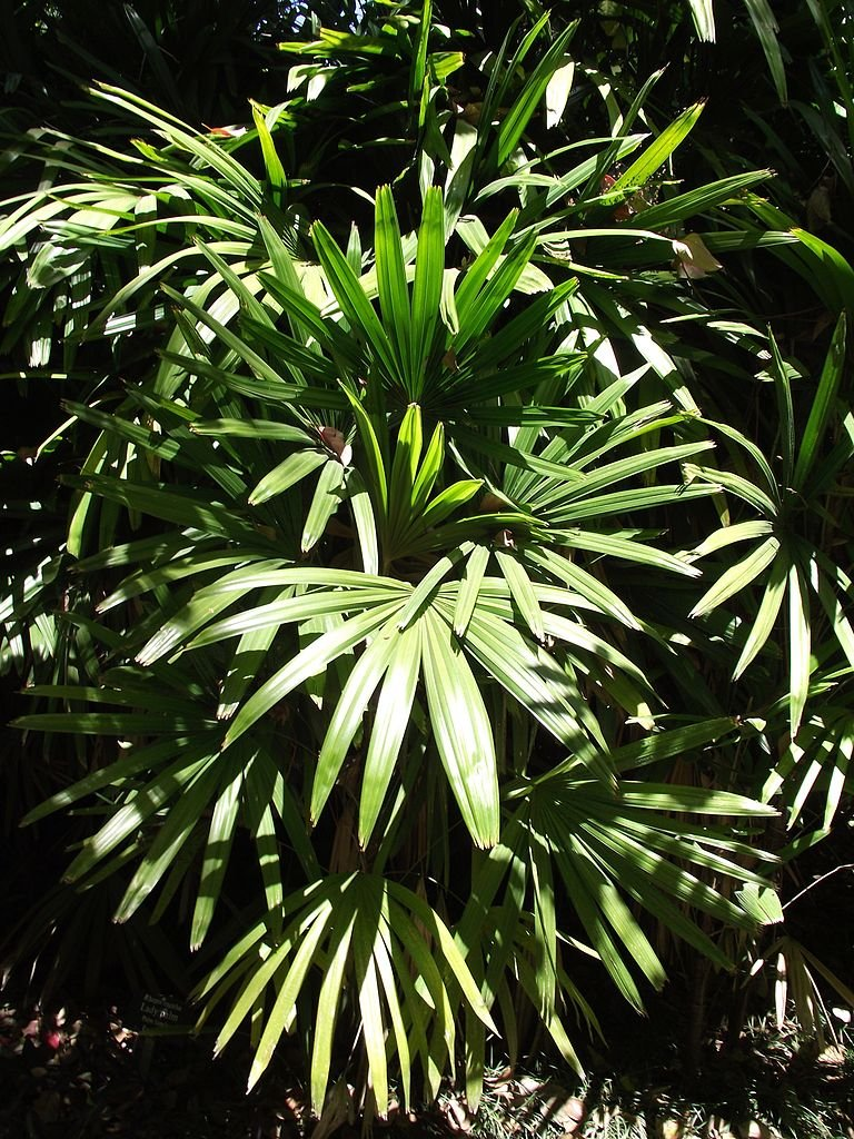 10 sementes Palm Mill Wide-Blade Bush SE / Ñora Rhapis Excella PLANTA INDOOR