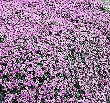 Amazon Com 4 Packs X 1000 Alyssum Royal Carpet Flower Seeds