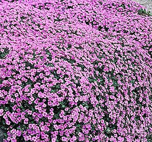 Alyssum Carpet - 4 Packs x 1000 ALYSSUM ROYAL CARPET Flower Seeds - Fragrant Lobularia maritima ~ HONEY BEES BIRDS BUTTERFLY - Zones 3 And UP - By MySeeds.Co